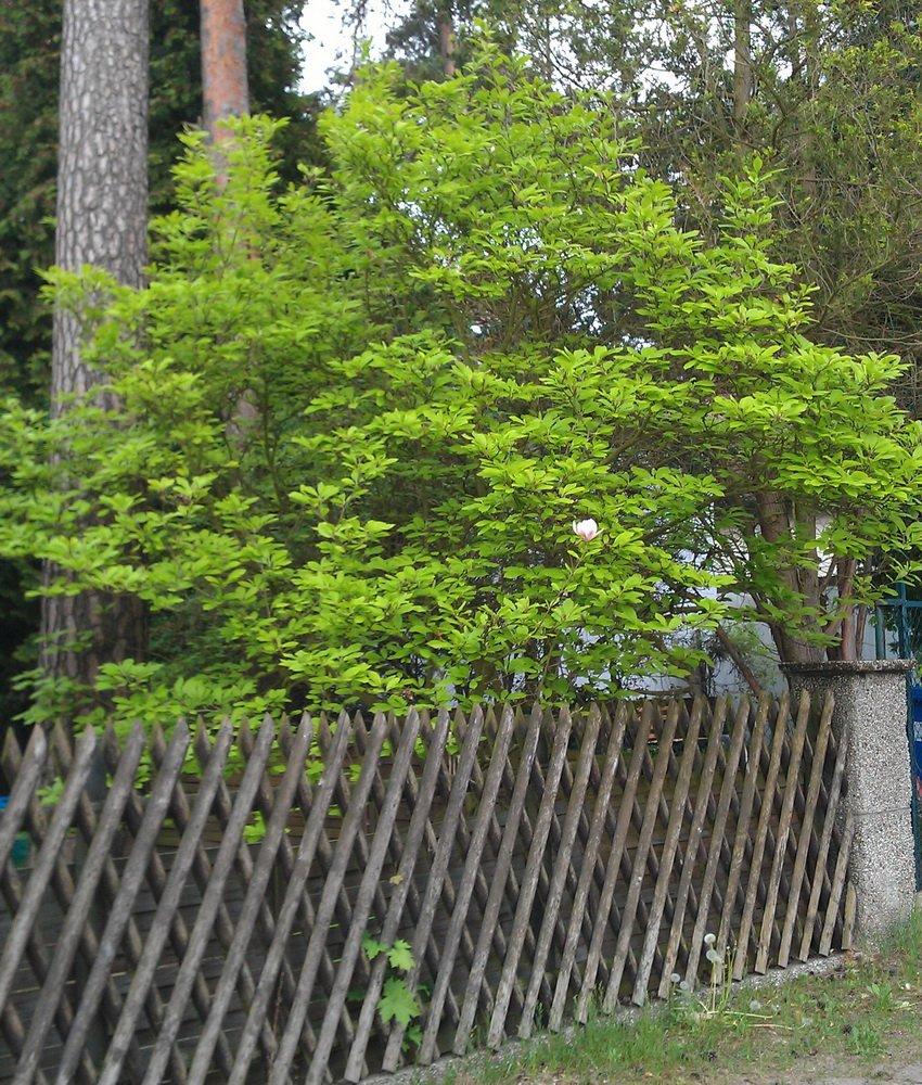 arifs gartenwelt magnolie bl ht schon str ucher seite 5. Black Bedroom Furniture Sets. Home Design Ideas