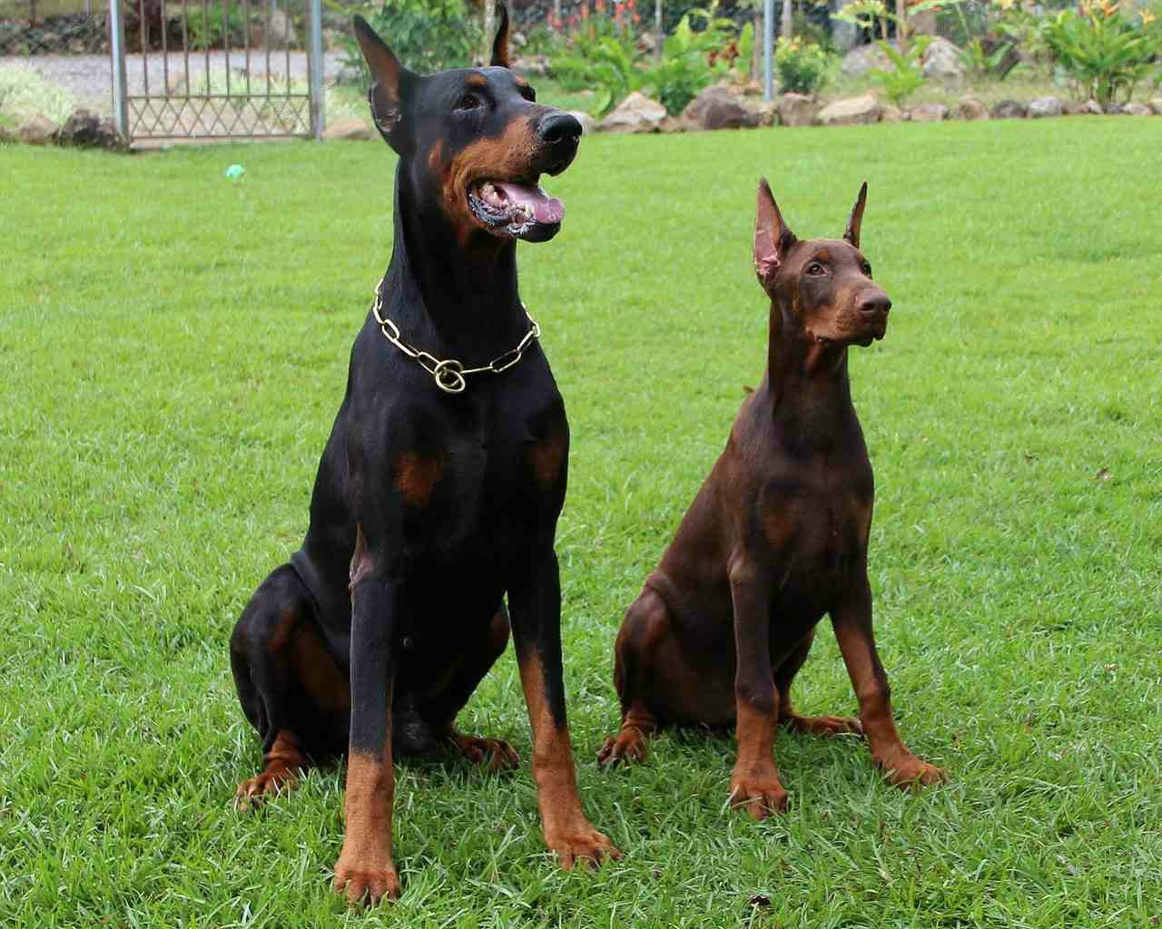 German Shepherd Big Dog Breeds